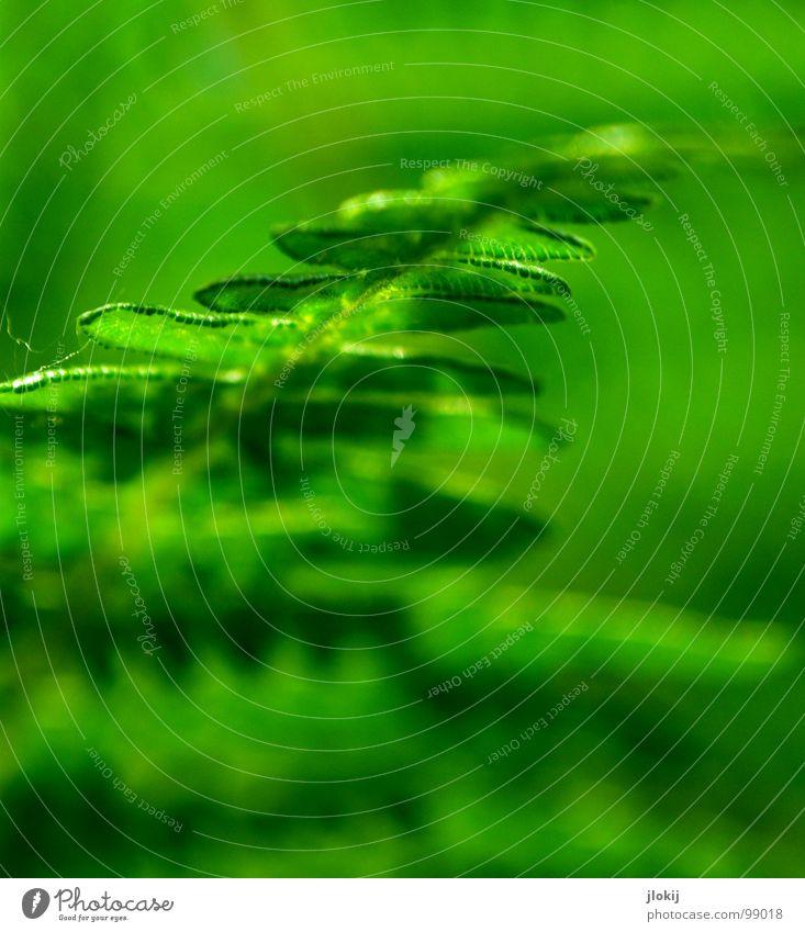 Just for Farn Pflanze grün Blatt Schatten feucht dunkel Biologie Wachstum Echte Farne Sporen Frühling berühren zart weich Unschärfe Natur Wedel Hexenkraut sanft