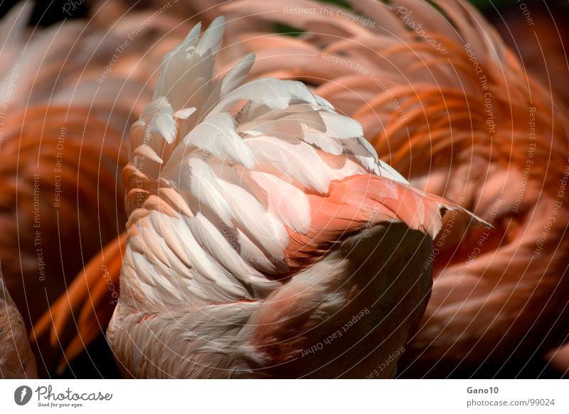 Federflatterfluffyschaum Natur Tier Beine Vogel rosa orange elegant Feder Flügel zart Afrika Zoo leicht Schwarm Flamingo Tiergarten