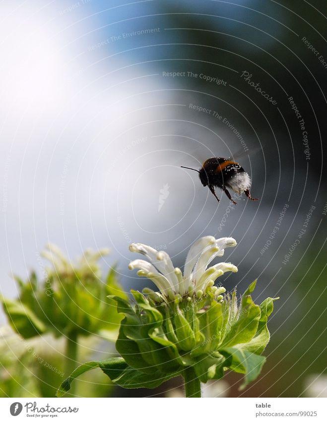 Arbeitsflug Himmel grün blau Pflanze Sommer Arbeit & Erwerbstätigkeit Blüte Frühling fliegen Insekt Biene sozial Umweltschutz Pollen Hummel Honig