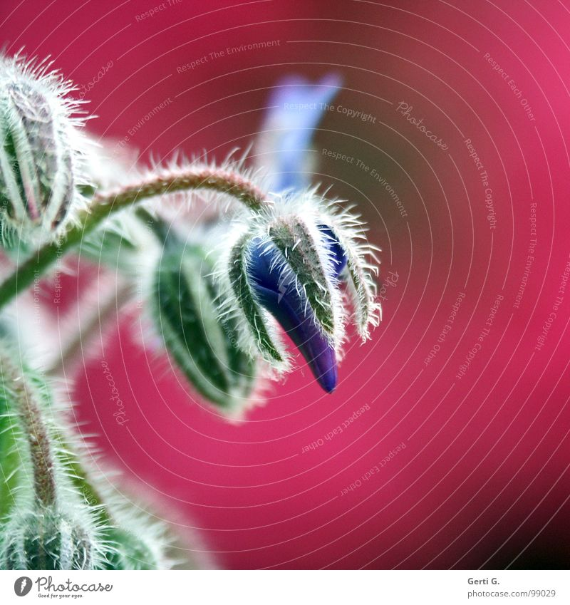 pinky Borretsch Pflanze Blüte Gartenpflanzen Raublattgewächs Hyazinthe rosa mehrfarbig knallig weiß grün Heilpflanzen Dill Stachel borretschgewächs