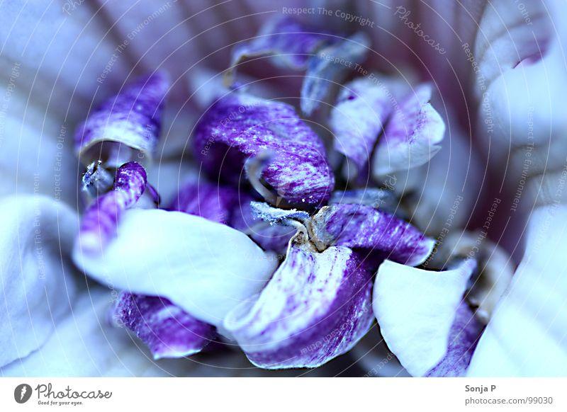 Purple Curls Blüte violett Unschärfe Tiefenschärfe Sommer Frühling tauchen Blume Blütenblatt Makroaufnahme Nahaufnahme Garten Natur Detailaufnahme