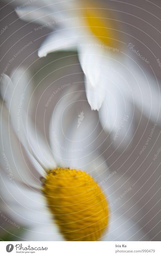 blumentanz Natur Pflanze Blume Blüte Margerite Wiese Menschenleer Bewegung Blühend Duft Tanzen ästhetisch gelb weiß Lebensfreude Frühlingsgefühle geheimnisvoll