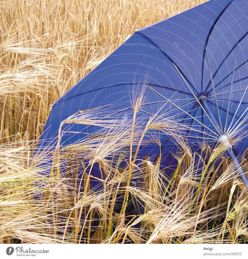 Blauer Regenschirm liegt in einem Getreidefeld mit reifer Gerste Aussaat Saatgut Halm Stengel Feld Landwirtschaft abgeschirmt Griff Stab Stoff Unwetter nass
