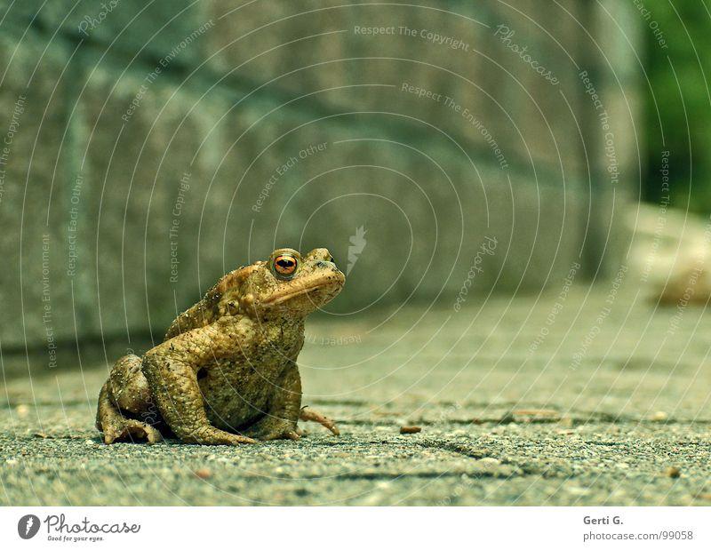 affront Glätte Grünstich Mauer Wand geduldig Ausdauer Aufenthalt hocken Asphalt Erdkröte gefährlich Krötenwanderung Brunft Tier wandern grün beleidigt schmollen