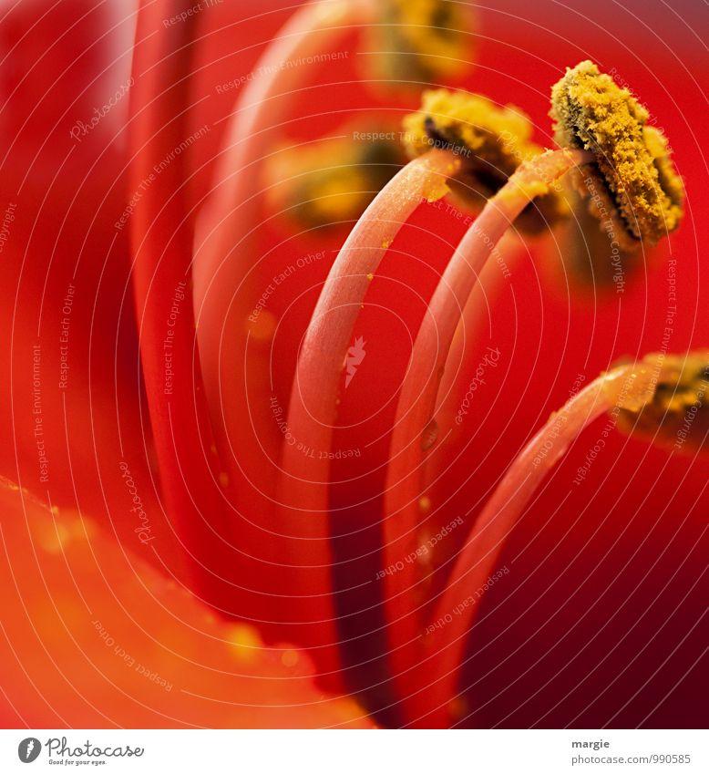 Amaryllis Natur Pflanze schön rot Blume Blatt Tier Umwelt gelb Gefühle Blüte Glück Freundschaft Zusammensein Wachstum Fröhlichkeit