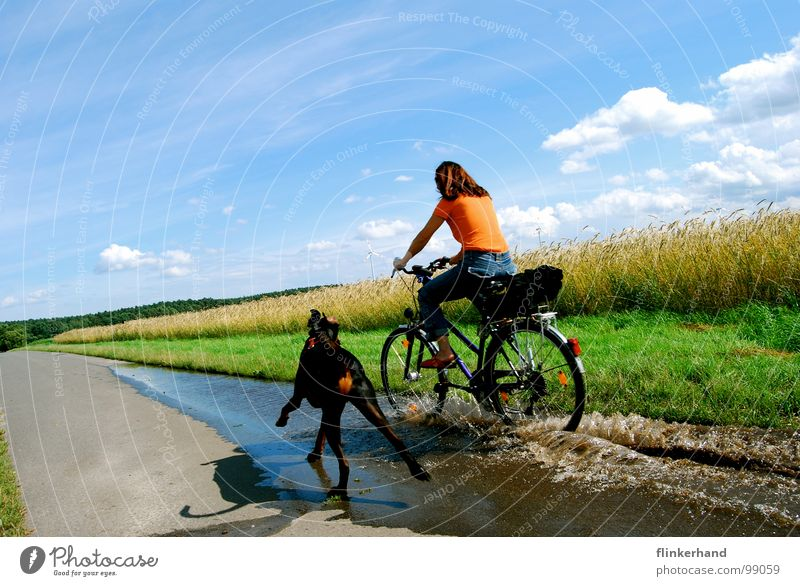 lebensfreude. Getreide Freude Sommer Fahrrad Frau Erwachsene Tier Wasser Himmel Wolken Feld Straße Hund fahren lustig nass blau Dobermann Pfütze