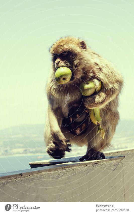 Ich hasse Einkaufen vor Feiertagen Tier Wildtier Affen Berberaffen tragen entwenden gefräßig Fell laufen schwer laden Frucht Gesunde Ernährung Glühbirne Banane