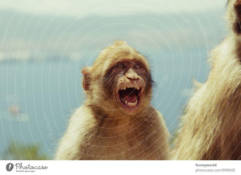 Aaaaah! Ick raste aus! Gesicht Tier Fell Affen Berberaffen kämpfen lachen schreien toben Aggression frech lustig rebellisch verrückt Wut Ärger gereizt