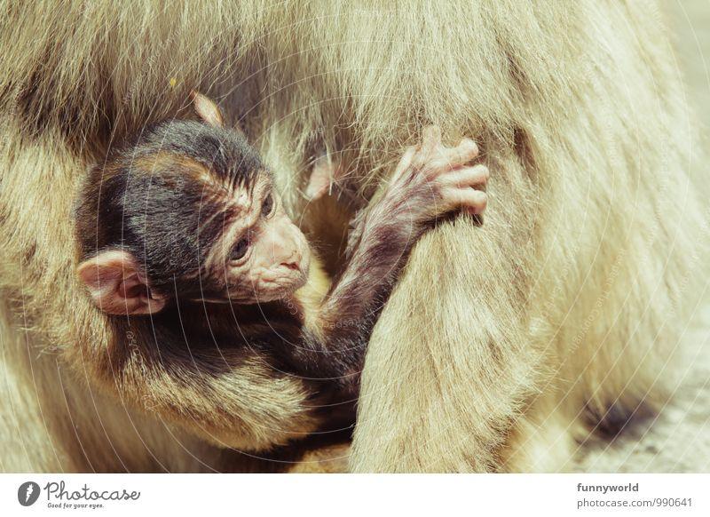 Tragling Affen Berberaffen Äffchen beobachten berühren tragen festhalten Ohr schön niedlich Geborgenheit Tierschutz stillen Baby hilflos kümmern Sicherheit
