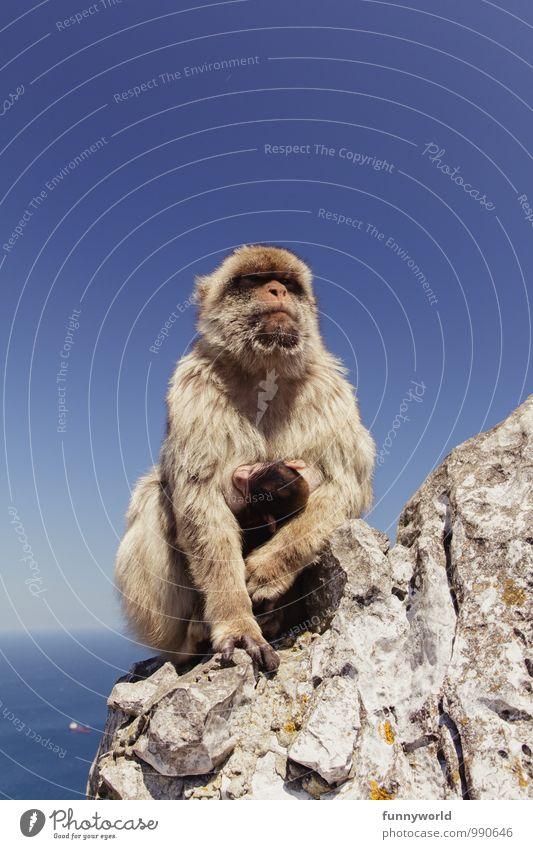 (ich hasse gestellte Familienfotos) Affen Berberaffen festhalten Fell Schutz Sicherheit kümmern hilflos Baby stillen Tierschutz Geborgenheit niedlich berühren