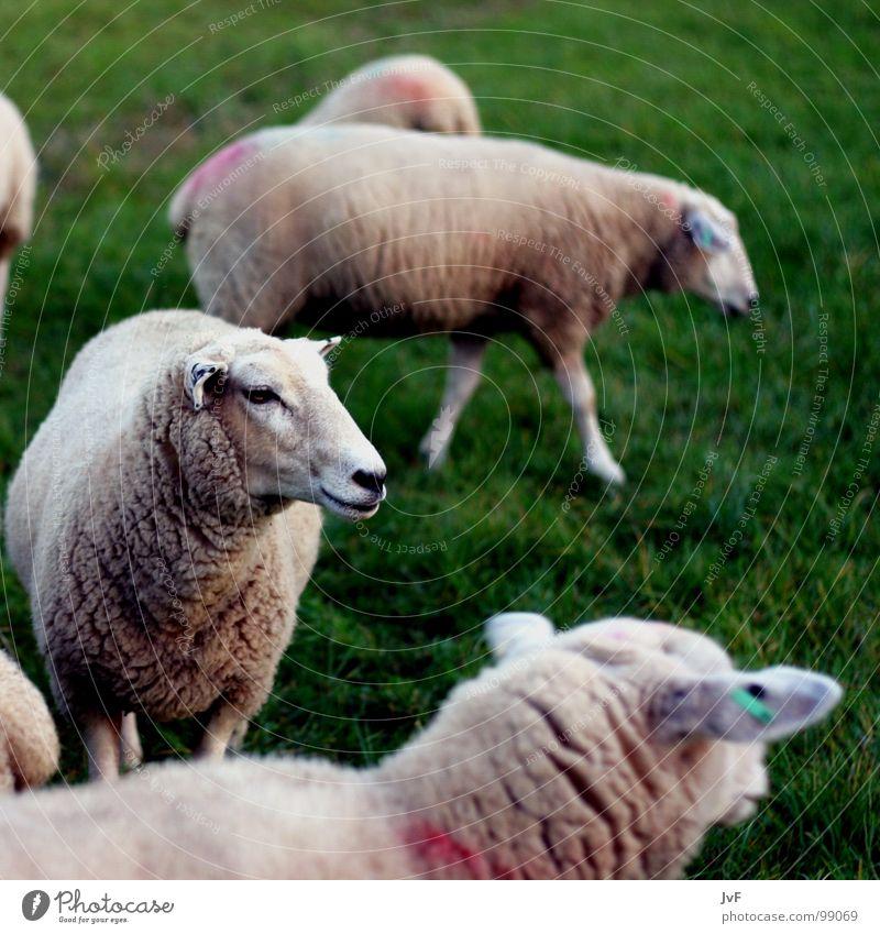 1 Schaf, 2 Schafe, 3 Schafe grün Tier Wiese träumen Rasen Weide Schaf Säugetier Wolle zählen