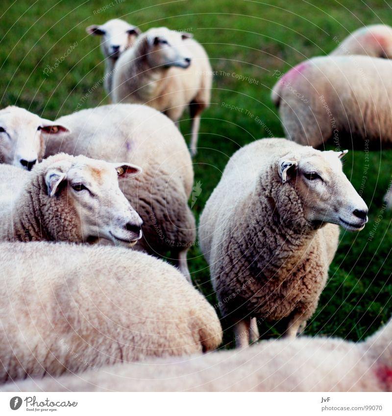 viele Schafe grün Tier Wiese Gras Weide Säugetier Wolle
