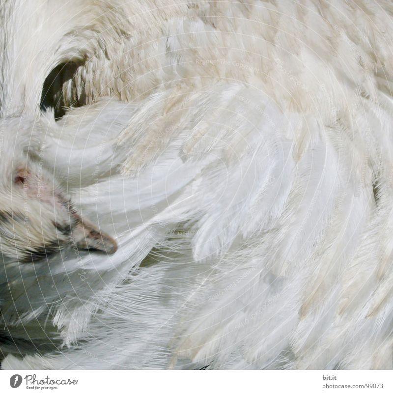 FEDERWISCH weiß Tier Bewegung Vogel Wildtier Feder Reinigen Sauberkeit berühren Mitte Zoo drehen leicht Leichtigkeit Bildausschnitt Schnabel