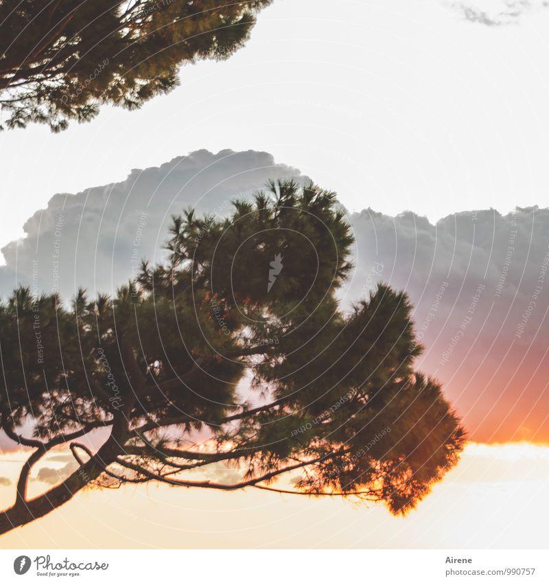 vorübergehend Natur Pflanze Luft Wolken Sonnenaufgang Sonnenuntergang Baum Nadelbaum Pinie außergewöhnlich bedrohlich wild grau orange rosa rot Morgendämmerung