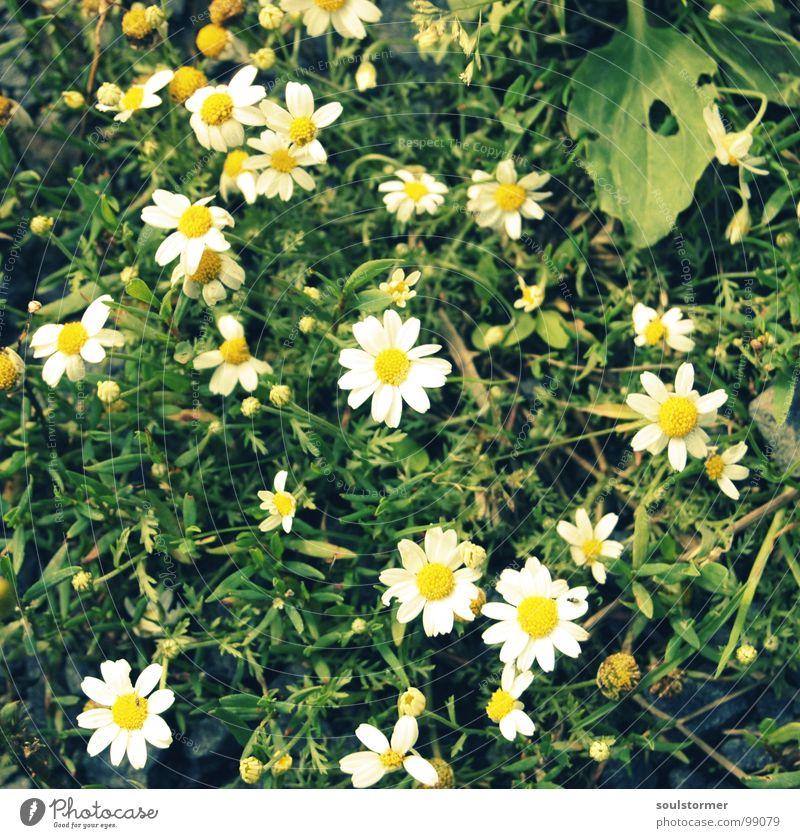 Gänseblümchen - was sonst? Blume Wiese Blüte gelb weiß grün Pubertät Gras Mitte Erholung schön Zerreißen Makroaufnahme Nahaufnahme Pflanze Natur Spaziergang