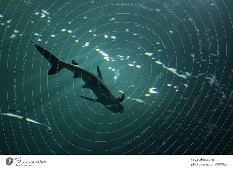 Hai's Hunger Haifisch Hi unten Lichtbrechung gefährlich tauchen Meer türkis Fisch Wasser Angst Panik Lichtstrahl Silhouette haisilhouette Wut Schwimmhilfe
