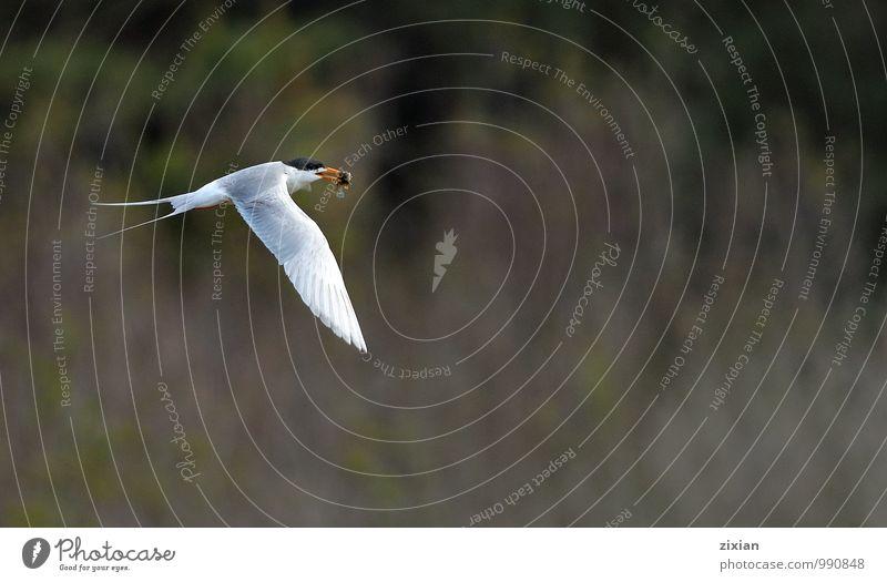 Forsterseeschwalbe Tier Wildtier Vogel Fliege 1 Bewegung Essen fahren fangen festhalten fliegen füttern hängen Jagd kämpfen Lächeln rennen elegant Erfolg