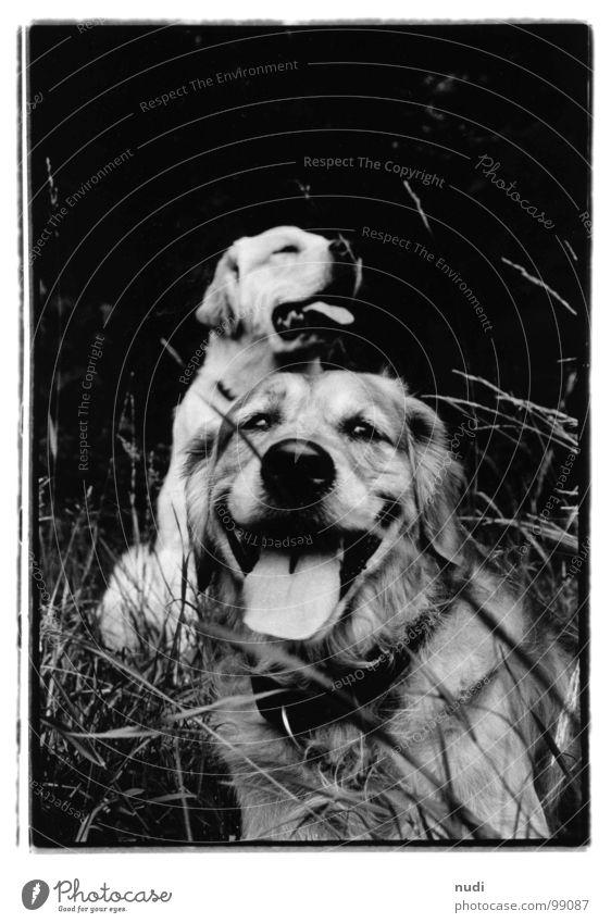 am nachmittag Hund Golden Retriever Gras Wiese Tier schwarz weiß nah Tiefenschärfe Säugetier Schnauze Fell Zunge Auge Ohr Spaziergang Haare & Frisuren
