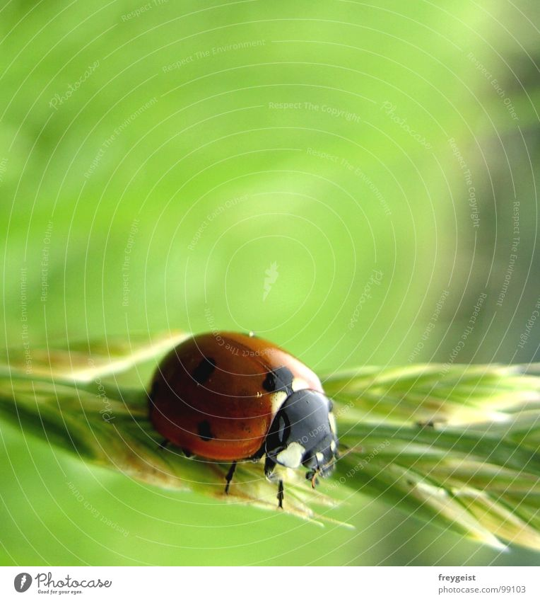 A Bug's Life Marienkäfer Schiffsbug Insekt Tier Wiese Gras Detailaufnahme Käfer Makroaufnahme Getreide insect animal