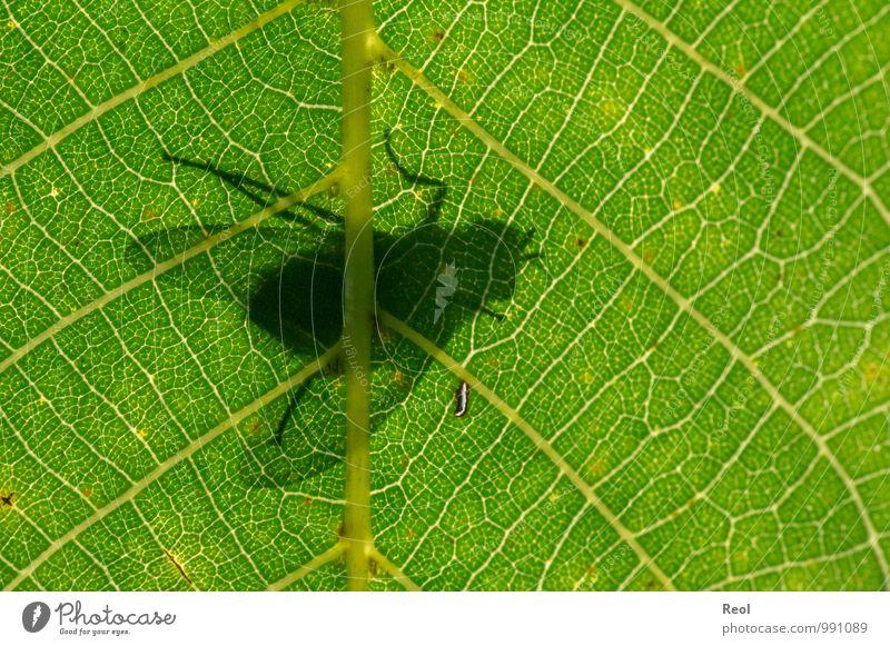 Auf der anderen Seite Walnuss Walnussblatt Blattadern Blattschatten Blattfaser Blattunterseite Wald Insekt Fliege 1 Tier beobachten Bewegung fliegen Fressen