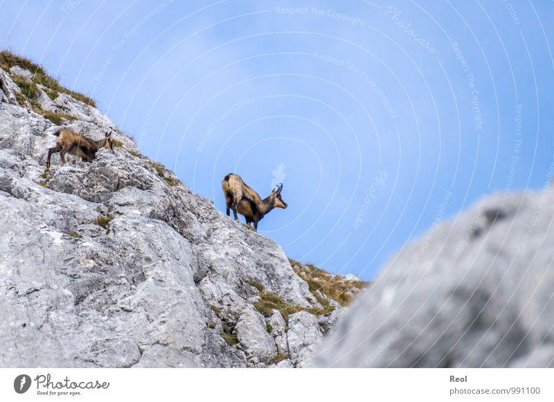 Gämse Natur Ferien & Urlaub & Reisen blau Wolken Tier Tierjunges Berge u. Gebirge Bewegung Gras grau Stein Felsen wild Erde Kraft wandern