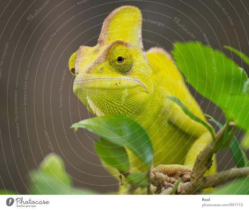 Chamäleon Zoo Pflanze Ast Blatt Tier Wildtier Tiergesicht 1 beobachten hocken exotisch Leben Trägheit gelb grün braun ruhig Wachsamkeit gefangen Farbfoto