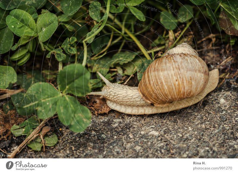 immer schön langsam Umwelt Natur Tier Sommer Wege & Pfade Schnecke 1 natürlich klee schleichen Pause Weinbergschnecken Gedeckte Farben Außenaufnahme