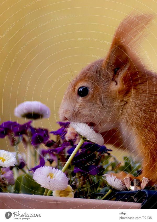 Lass es dir schmecken... Eichhörnchen süß niedlich Mut drollig Ernährung Blume Gänseblümchen Geschmackssinn Säugetier gefräßig Appetit & Hunger sweet cute