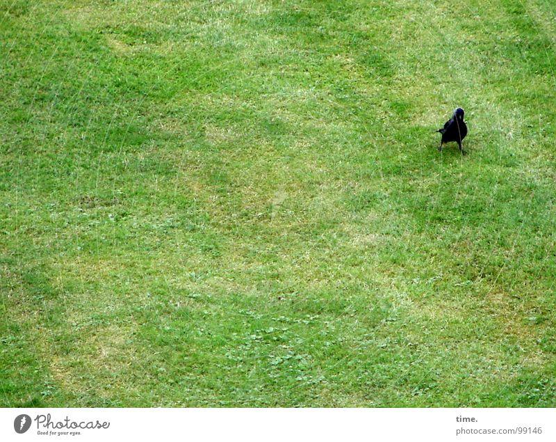 Platzwart (powered by akai) Blick Wiese Vogel Fressen grün Einsamkeit Konzentration Dohle Halm Vorhut Suche Rasen wo sind die anderen Spaziergang Wurmfresser