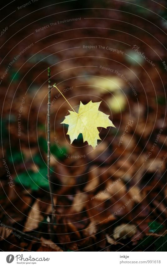 ein letztes Natur Herbst Blatt Ahornblatt Ahornzweig Wald Waldboden hängen einfach braun gelb Einsamkeit einzigartig Wandel & Veränderung welk einzeln Farbfoto