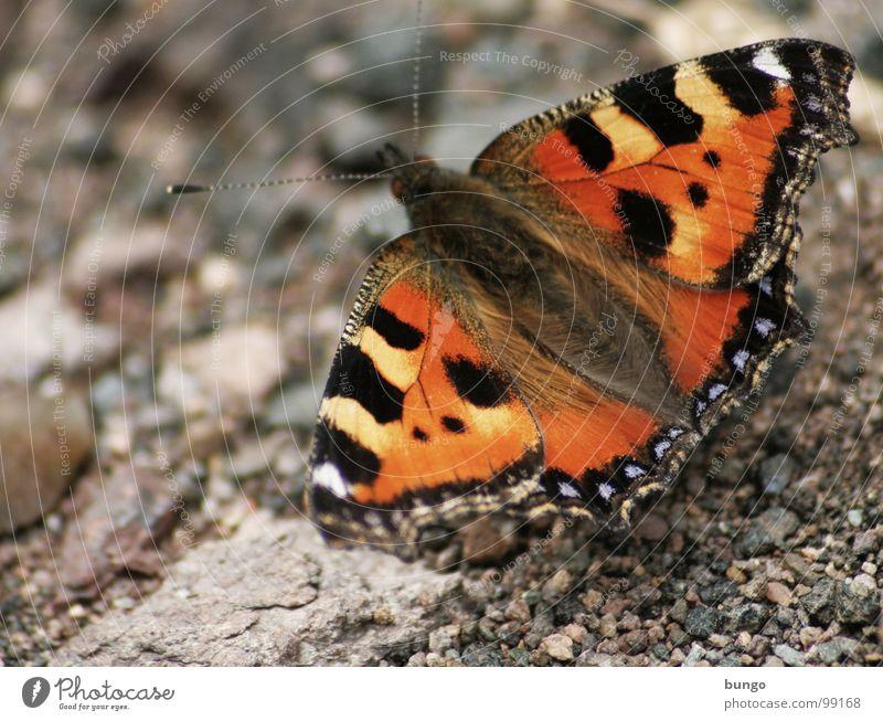 Ich lasse dich leben Schmetterling Kleiner Fuchs Insekt Gliederfüßer Muster Färbung mehrfarbig rot Kieselsteine Stein Tier schön leicht Leichtigkeit Schwäche