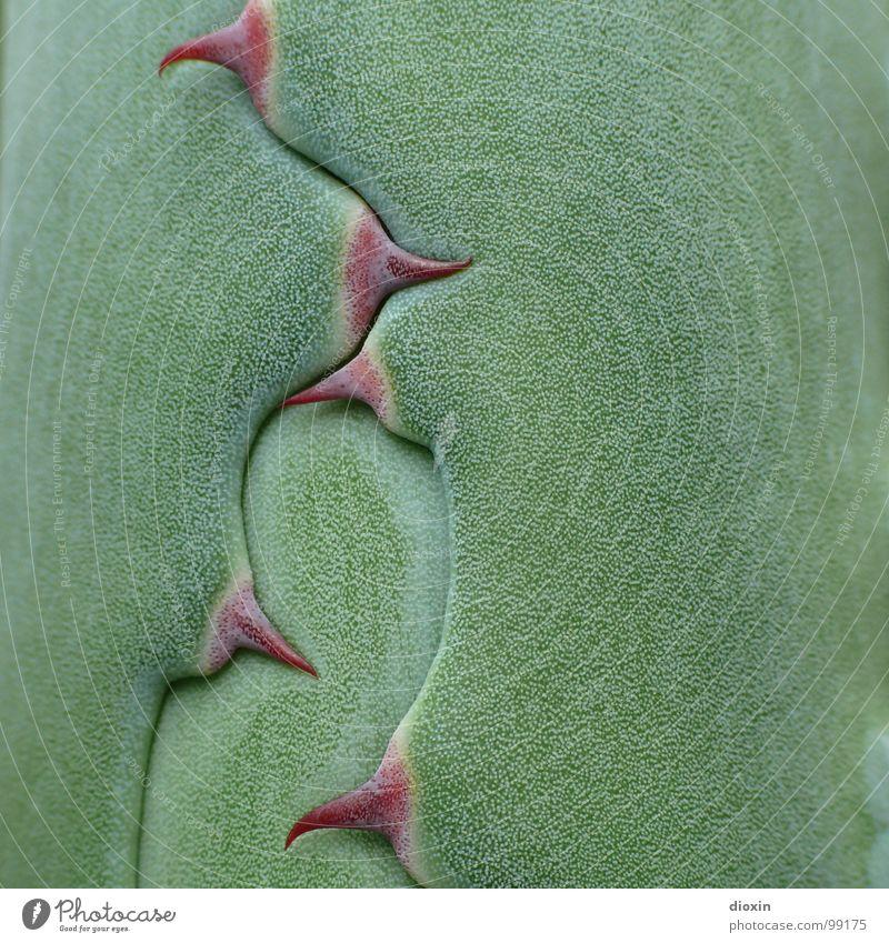Agave Parrasana Natur grün Pflanze Umwelt bedrohlich Wüste Spitze natürlich exotisch Tequila Mexiko Kaktus stachelig Dorn mediterran Perspektive