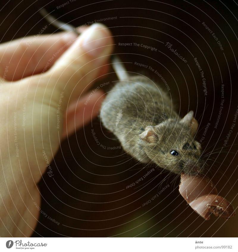 erwischt Hand Tod süß festhalten Jagd Süßwaren Schokolade Maus Säugetier Schwanz beißen Tier Redewendung Hinterhalt hartnäckig Schade