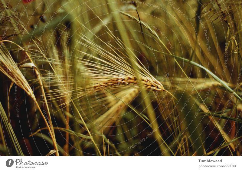 Ährensache . . . . grün Pflanze gelb Gras Feld Erde Ernährung Getreide Korn Ernte reif Halm Heimat Strichhaar
