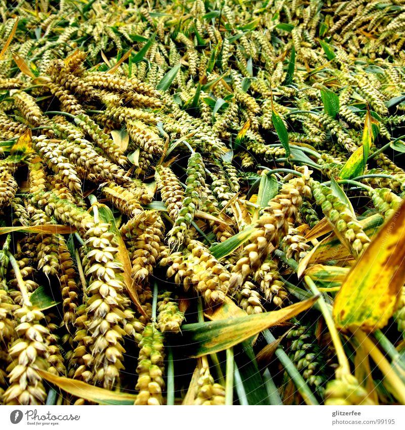 niedergeschlagen grün Sommer ruhig gelb Regen liegen Feld Korn Sturm Ernte Gewitter Kornfeld Weizen flach Fee Gerste