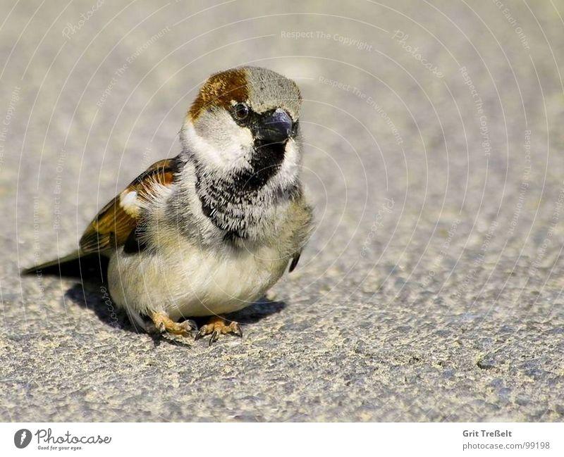 Ein Füsschen vors andere ;-) Vogel laufen süß Feder Schnabel hüpfen Spatz