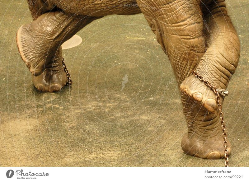 Verdammt, BESETZT! grau Kraft Zufriedenheit Reinigen Afrika Zoo Baumstamm Gleichgewicht Kette Waschen Wäsche müssen Wien urinieren Elefant