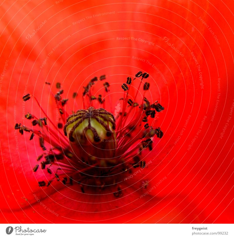 Red Passion Mohn Blume Blüte rot schwarz Pflanze Wiese Feld Detailaufnahme Charakter red Makroaufnahme Natur