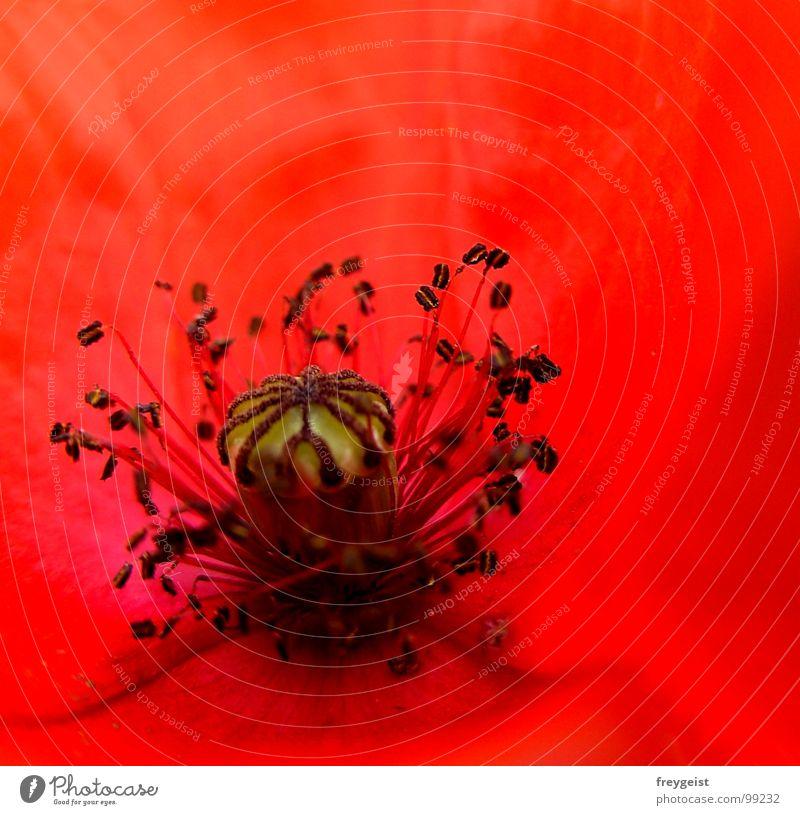 Red Passion Natur Blume Pflanze rot schwarz Wiese Blüte Feld Mohn Charakter