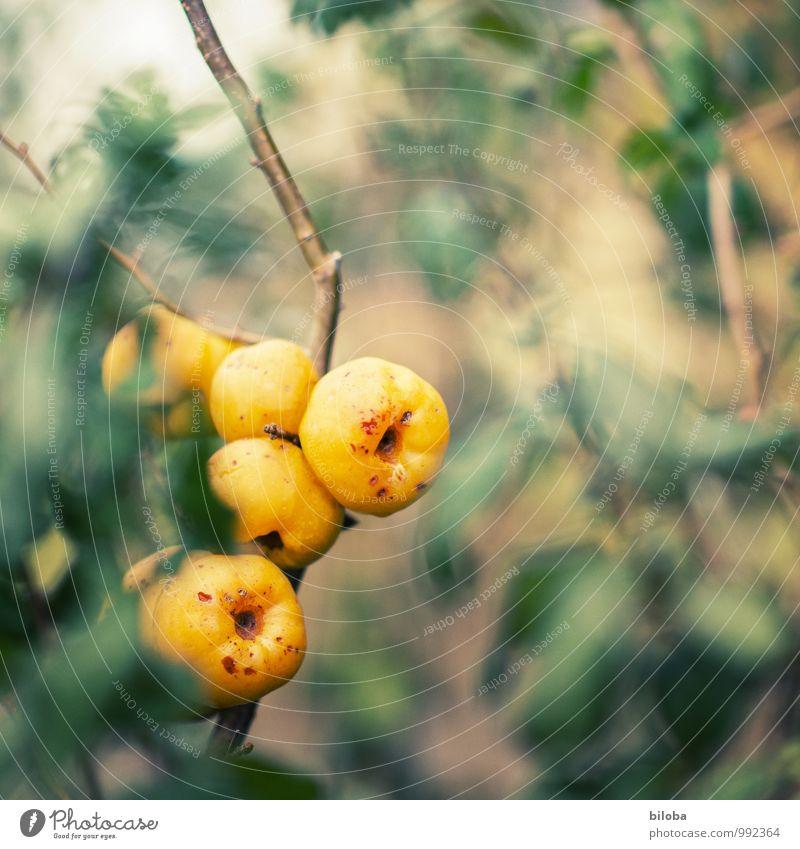 Feuerbusch Natur Pflanze grün rot gelb Herbst Garten Sträucher Apfel Zierpflanze