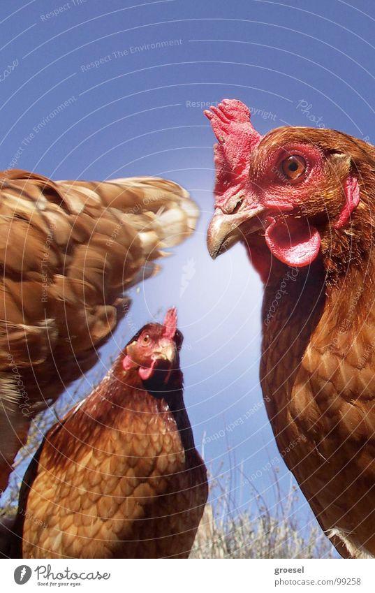 hühner-meeting Haushuhn Sitzung Neugier Tier Treffpunkt Schnabel Vogel Vertrauen Blick Natur Feder Ei Auge Kontrolle Amerika hendl Appetit & Hunger Misstrauen