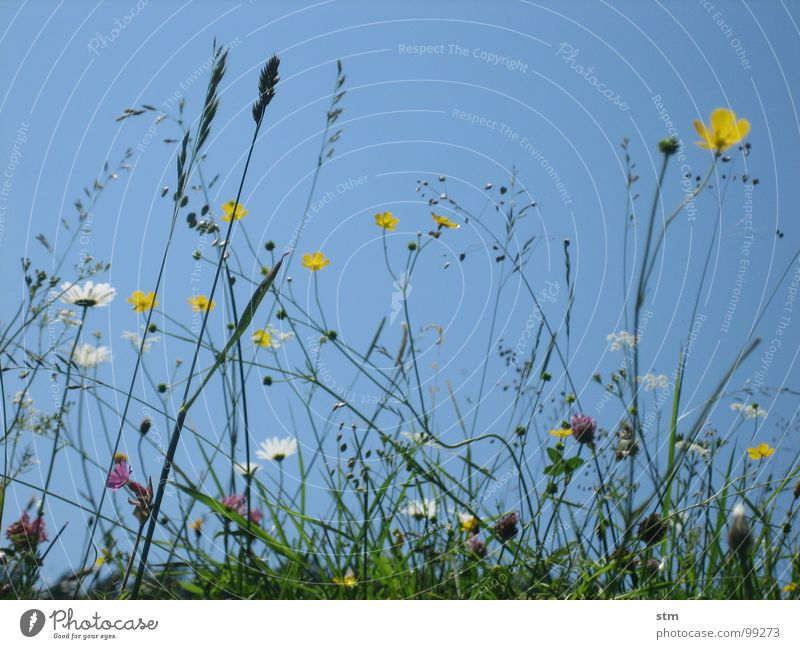 blau 05 Himmel Blume Sommer Blüte Gras Berge u. Gebirge wandern Pause Alpen Alm Klee Bergwiese Heilpflanzen Hahnenfuß Alpenwiese