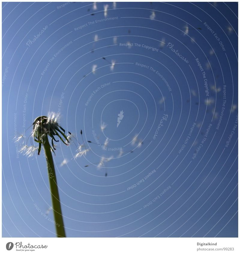 ausatmen Natur Himmel blau Pflanze Sommer ruhig Einsamkeit Freiheit Wind Löwenzahn