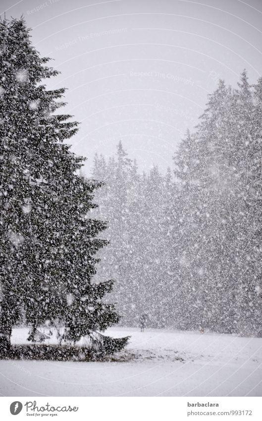 Schneetreiben, Mensch mit Schirm, ein Hund Himmel Natur Baum Landschaft Tier Winter Wald Bewegung Stimmung Schneefall Klima Regenschirm Tanne