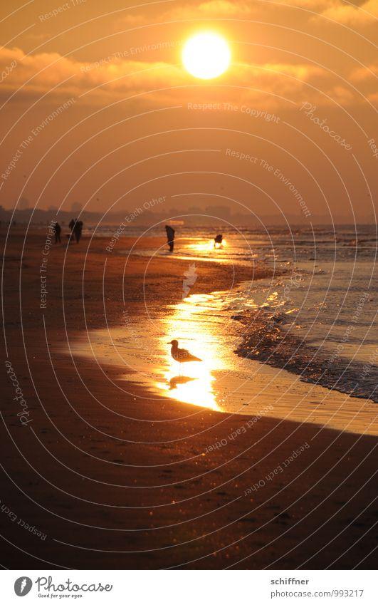 Belgischer Goldrauschvogel Mensch Sonne Sonnenaufgang Sonnenuntergang Sonnenlicht Wellen Küste Strand Bucht Meer Vogel gelb gold orange rot schwarz Möwe