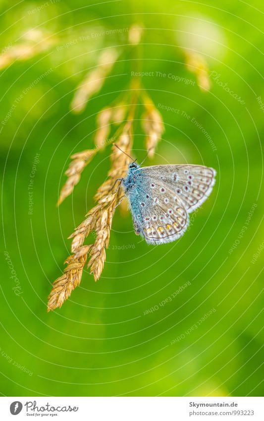 Bläuling Lifestyle elegant Wohlgefühl Zufriedenheit Erholung Freizeit & Hobby lesen Umwelt Natur Tier Gras Schmetterling Flügel 1 entdecken fliegen genießen