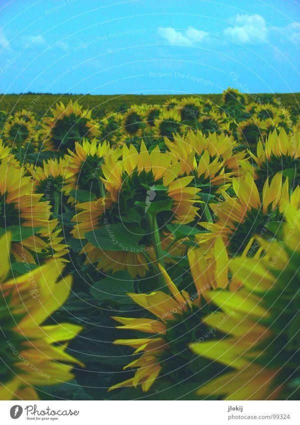 Der Sonne entgegen Sonnenblume Feld Wachstum drehen Korbblütengewächs Blume Blüte mehrere gelb Blütenblatt grün Stengel Pflanze Sommer Lieblingsblume