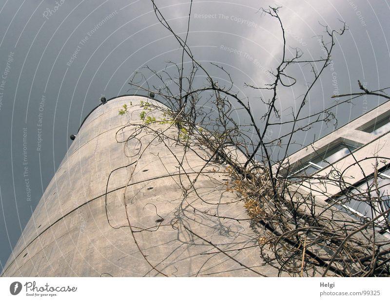 hochgewachsen... Gebäude Haus Fenster Beton grau bewachsen Pflanze Ranke Stengel Wolken weiß emporragend befestigen durcheinander rund gekrümmt Ecke Turm Rahmen
