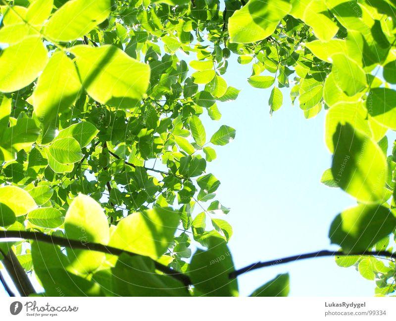 Blätterteig Blatt Himmel grün Baum Pflanze durcheinander ruhig Licht grell Sommer Leaves Sky blau Schatten Natur hell