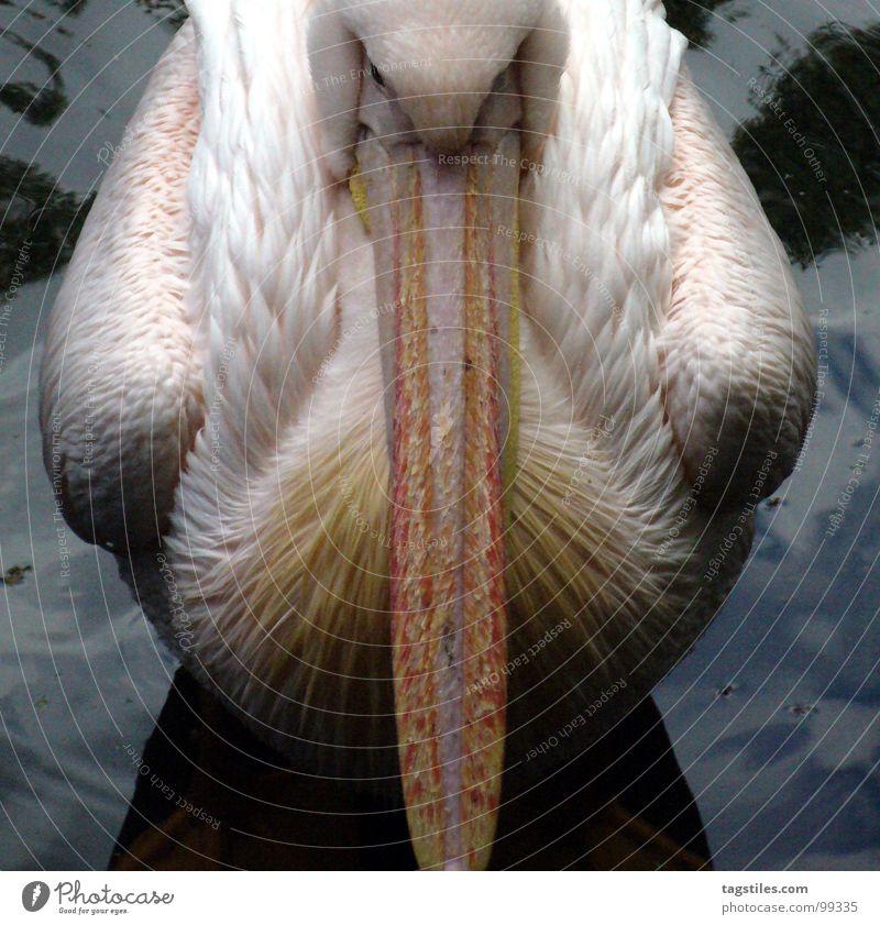 Scheiß ..#*@/&'#.. Touristen! Pelikan 2 Hälfte Mittellinie unfreundlich Stimmung rosa Schnabel genervt weiß trist Langeweile Vogel Wasser Teilung tagstiles